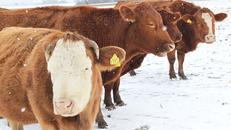 Krave troše više energije da se zagriju, a mlijeka je sve manje