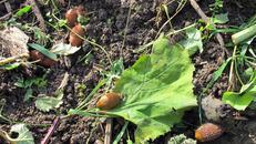 Puževi haraju u 83 posto vrtova, a čakovačke učenice otkrile kako ih se riješiti
