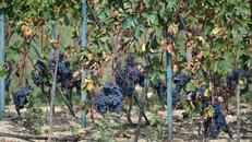 Otkrivena nepoznata sorta vinove loze: Još uvijek o tome jako malo znamo